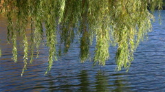 The willow branch sways in the wind over the water Stock Footage