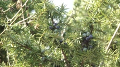 Juniper berries on a branch in summer breeze Stock Footage