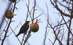 Female common blackbird (Turdus merula) sitting on a bare tree with an apple Stock Photos
