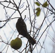 Female common blackbird (Turdus merula) sitting on a bare tree with an apple Stock Photos