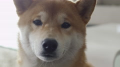 Portrait of Cute Shiba Dog in Living Room. Stock Footage