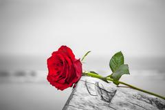 Red rose lying on broken tree on the beach. Concept of romantic love, romance Stock Photos