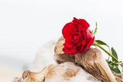 Red rose on the beach. Love, romance, melancholy concepts. Stock Photos