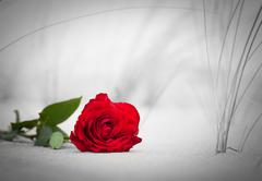 Red rose lying on sand on the beach.. Concept of romantic love, romance, but  - stock photo