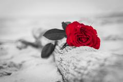 Red rose lying on broken tree on the beach. Concept of romantic love, romance - stock photo