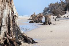 3000 years old tree trunks on the beach after storm. Slowinski National Park, Stock Photos
