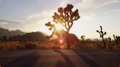 Sun shines through Joshua Tree alongside road - stock footage