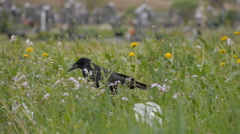 Black crow walking by foot, big green grass, outdoor footage Stock Footage