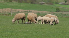 Flock of sheep and lambs eating green grass on field, cattle graze close up. Stock Footage