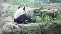 Giant pandas eat bamboo in shelter at Smithsonian National Zoo. Stock Footage