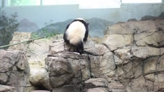 Panda bear slowly climbs stone rocks at Smithsonian National Zoo. Stock Footage