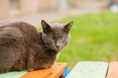 Portrait of grey indifferent cat looking at camera - stock photo
