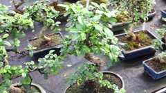Many bonsai trees in pots on the shelf at greenhouse. Stock Footage