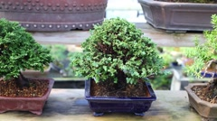 Thuja bonsai trees in pots on the shelf at greenhouse. Stock Footage