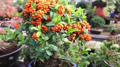 Bonsai tree with many orange fruits among lush leaves on the crown. Stock Footage