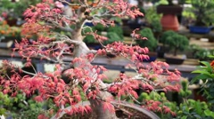 Red maple bonsai tree with opening new young foliage. Stock Footage