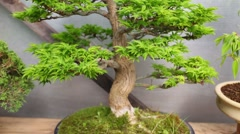 Bonsai maple tree with thick trunk and bright-green foliage in pot Stock Footage