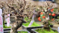 Bonsai elm tree with buds on branches at greenhouse. Stock Footage