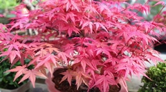 Bonsai red maple tree with bright foliage in greenhouse. Stock Footage