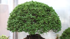 Shaped bonsai thuja tree with humans toy figures in pot Stock Footage