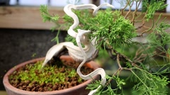 Bonsai thuja tree with curved trunk without bark in pot Stock Footage