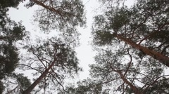 Swaying pine trees crowns in snowy wood against sky. Stock Footage