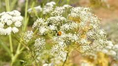 Ladybug on the flower Stock Footage
