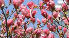 Magnolia flowers blossom on the blue sky Stock Footage
