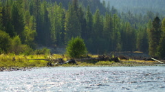 American fisherman wading in Wilderness river fly fishing USA - stock footage