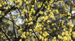Blooming dogwood in a park Stock Footage