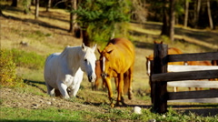 Running horses in Roundup on forest Cowboy Dude Ranch America Stock Footage