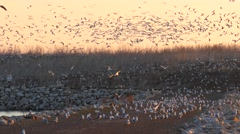 Seagulls swarm together, over a place where they mate and nest - stock footage