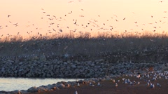 Seagulls swarm over an island where they mate and nest - stock footage