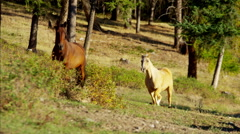 Galloping horses in Roundup on Wilderness Cowboy Dude Ranch America Stock Footage