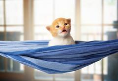 Cute red orange kitten in blue hammock Stock Photos
