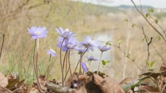 Macro shot of violets flowers Stock Footage