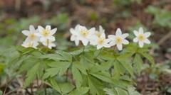 Spring flowers. Macro shot Stock Footage