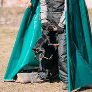 Pinscher dog training. Biting dog. Zwergpinscher - stock photo