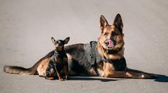 German Sheepdog And Miniature Pinscher Pincher Sitting Together - stock photo