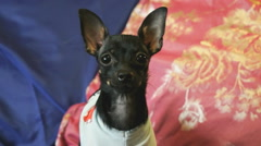 Dog toy-terrier barks and poses on the camera Stock Footage
