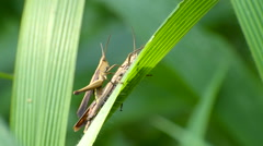 Cricket bugs mating in jungle Stock Footage