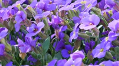 First spring flowers in April - stock footage