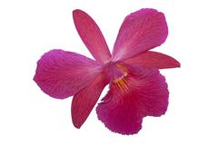 Single Isolated Mauve Orchid with Yellow Striped Center - stock photo