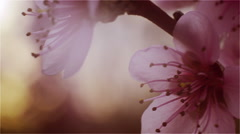 Peach Twig with pink flowers in front of sunlight Stock Footage