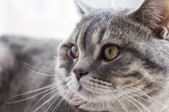 A british cat grey color pet whiskas Stock Photos