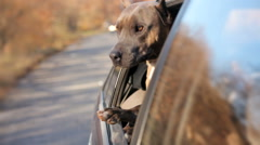 Funny Dog Looking Out Of Car Window Stock Footage