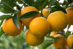 Orange tree in the garden - stock photo