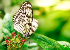 Marbled white butterfly - stock photo