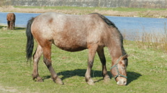 Horses grazing on a meadow near a river Stock Footage