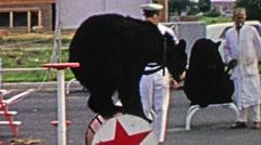 1967: Circus black bear balancing round wheelbarrow performance. Stock Footage